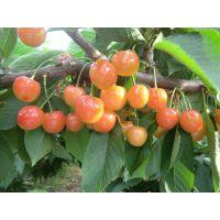 新品种大樱桃种苗求购