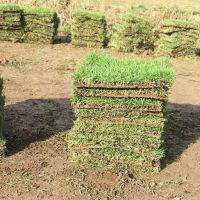 广西钦州 马尼拉草皮 优质草种出售价格 怎么卖