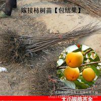 柿子树苗自产自销包结果根系发达嫁接苗当年结果4年苗包邮