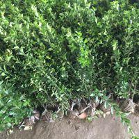 大叶黄杨树苗价格,50公分高哪里有,道路绿化
