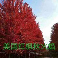 美国红枫树苗多少钱 荣森银杏 8公分美国红枫树苗价钱