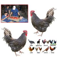 山东鸡苗行情 天津那里能买到土鸡苗 黄石鸡苗 提供鸡苗到回收成品鸡