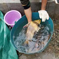 四川中华胭脂鱼全国批发零售量大从优