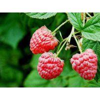 新品树莓苗批发5元 安徽润丰苗木