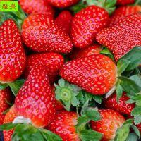 山东草莓苗 红颜 全明星 可盆栽地栽 繁殖性强 四季奶油草莓苗价格