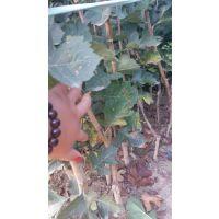 甜红籽山楂苗今年报价 甜红籽山楂苗品种特性