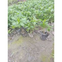 木春菊种植基地 木春菊工程苗 杯苗