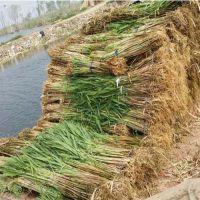 供应香蒲,香蒲苗,水生植物种苗,白洋淀水生植物