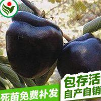 晚熟坐果力强全果实黑色黑柿1号柿子苗
