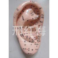 中医耳朵模型 按摩耳穴位模型 耳部穴位模型
