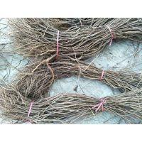 泰安葡萄树苗新品种