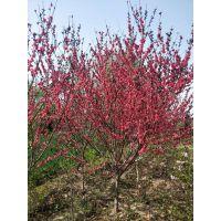 开红花的红叶碧桃1-10公分量大,买碧桃请到武陟辉怡家庭农场