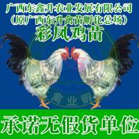 昆明市石林县-贵阳鸡苗孵化场-山西鸭苗-甘肃鹅苗
