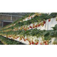 薄膜温室大棚草莓种植采摘/温室草莓产量怎么样