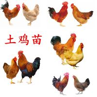 育种孵化场供应土鸡苗卖,哪里有土鸡苗卖价格优惠,全国运输成活率高长速快