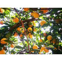柑橘生态种植批发