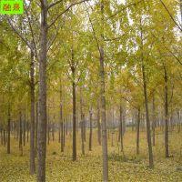 常年供应银杏树 行道绿化树 3 4 5 6 7 8 9 10公分黄叶风景树 精品银杏树