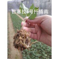 黑珍珠樱桃苗那里有-泰安泰丰源农场-新疆黑珍珠樱桃苗