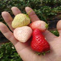 佐贺清香草莓苗种植基地