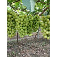 酿酒葡萄种苗厂家直销