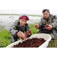 小龙虾批发价格阿鲁科尔沁龙虾