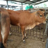 常年出售育肥黄牛 三元杂交牛适合北方养殖吗 一头肉牛犊多少钱