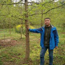 供应银杏树 陕西汉中货源 15CM ---20CM 银杏树价格900元起 一级树树形好 规格全