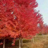 八公分美国红枫多少钱 荣森银杏 美国红枫价格表 美国红枫多少钱