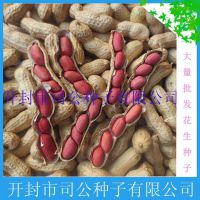 批发花生种子 大白沙 豫花系列 花育系列 花生种子 3.8元/斤