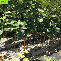 批发大规格柿子树 当年结果1公分2 3 4 6 8 10公分以上规格柿子树苗价格