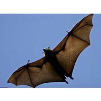 一只蝙蝠多少钱,天蝠一斤多少钱,哪里能买到.优质商家