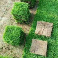 马尼拉草坪 江西上饶常见草坪草种出售价格 优质服务