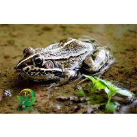 湖北天泽惠丰生态农业发展有限公司:黑斑蛙养殖的管理方法