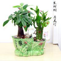 招财树节节高竹子盆栽室内净化空气富贵竹绿植迷你小植物发财树