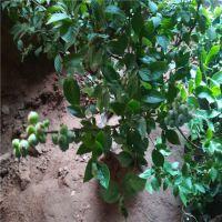 正一园艺场价格:蓝莓苗批发基地 蓝莓苗怎样培育