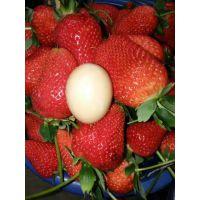 隋珠草莓品种苗价格 隋珠草莓苗基地批发
