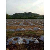 平和县三红蜜柚苗基地 三红蜜柚苗哪里有卖