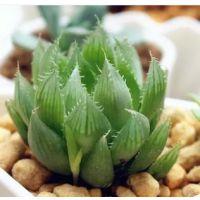 多肉植物 水晶琉璃莲 玉露 耐阴多肉盆栽 迷你多肉花园 桌面盆栽