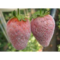 草莓白粉病特效药 白粉必克36小时落粉