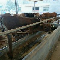 鲁西黄牛养殖场 鲁西黄牛肉牛多少钱一头
