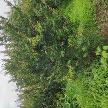 江苏1公分-2公分-3公分4公分丛生紫薇价格报价