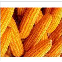l供应质量可靠、优质的  玉米水份14