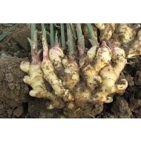光动力生姜微生物菌剂 大姜抗重茬菌剂,防治生姜根腐病菌肥