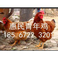 张家口50-120日龄海兰褐/罗曼青年鸡厂家直销