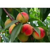 优质桃树苗批发4元 安徽润丰苗木