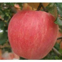 新2001富士苹果苗、新2001富士苹果苗批发基地