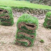 马尼拉草坪 四川广场工程绿化用的兰引三号草出售价格 在哪里买