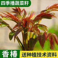 批发 山野菜山东香椿种子芽苗菜香椿籽 椿芽椿阳树红香椿种子5g