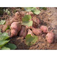 红薯土豆芋头控旺增产用什么肥?地下作物专用膨果调控剂