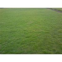 专业草坪种植基地,成都台湾二号出售